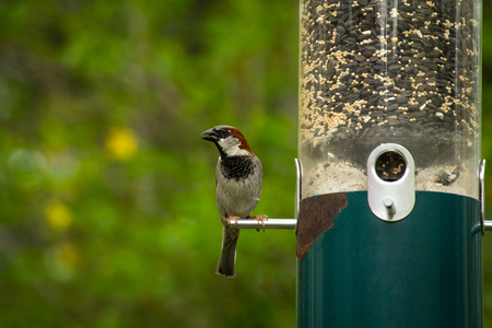 Male house sparrow eating from hanging bird feeder