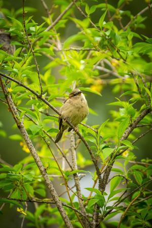 Female house sparrow resting on forsythia bush branch