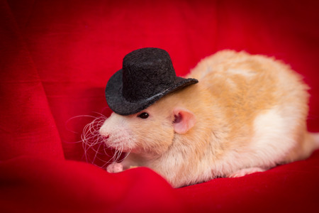 Fancy fawn colored dumbo eared pet rat wearing top hat Stock Photo