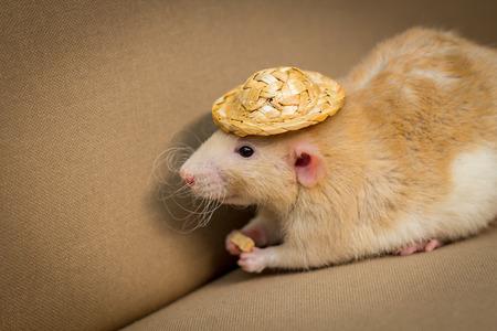 Fancy fawn colored dumbo eared pet rat wearing straw hat Stock Photo