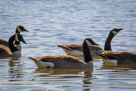 Flock of Canadian geese swimming in tranquil summer lake