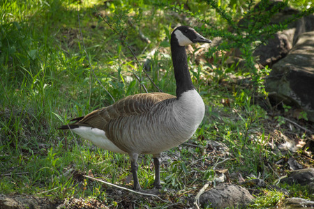 Wild Canadian goose standing on summer lake shore Stock Photo