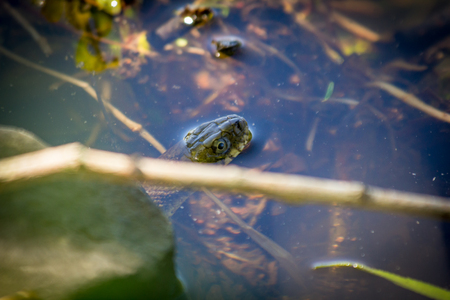 Banded Northern Water Snake going for a swim in lake Stock Photo