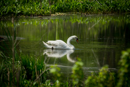 Majestic white Mute Swan swimming in natural summer lake