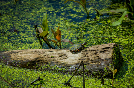 Eastern painted turtle resting in the sun on old log