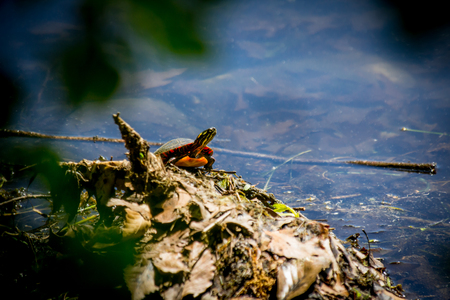 Eastern painted turtle resting in natural lake environment