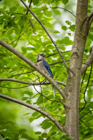 North American Blue Jay enjoying a nice summer day Stock Photo