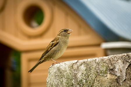 Female house sparrow perched on rock wall with shed in background Stock Photo
