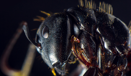 Extreme closeup macro black carpenter ant for pest extermination