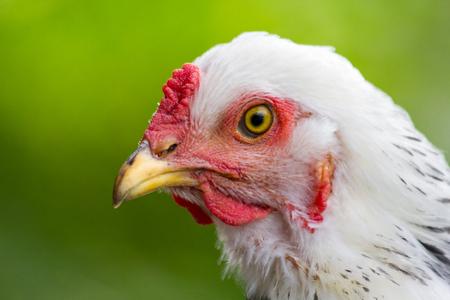 Large adult light Brahma chicken farm hen portrait