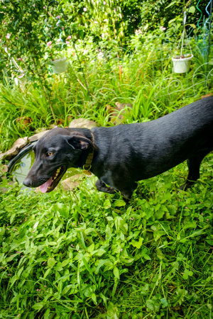 Black labrador retriever dog playing in the yard on a summer day