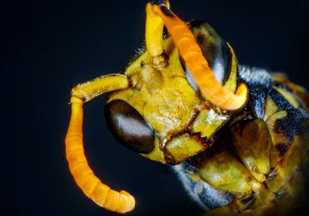Extreme close up macro scary paper wasp eyes Stock Photo