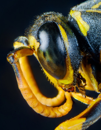 Extreme close up macro scary paper wasp eyes Stock Photo