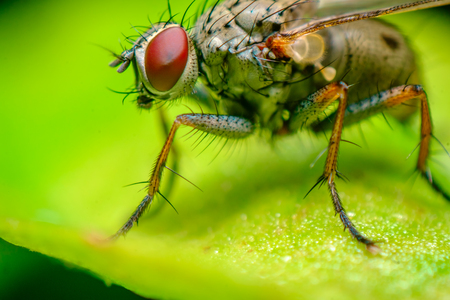 Extreme close up macro house fly on green leaf