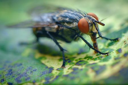 Extreme close up macro flesh fly on green leaf 스톡 콘텐츠 - 112281349