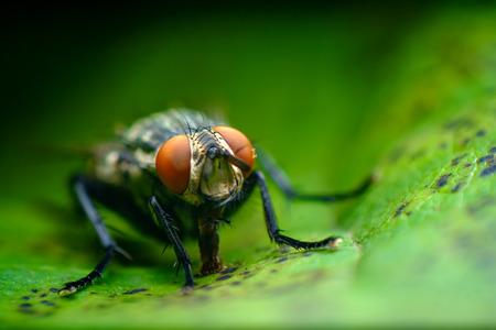 Extreme close up macro flesh fly on green leaf 스톡 콘텐츠