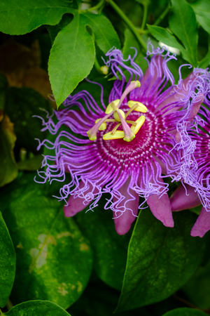 Passiflora Incarnata purple passionflower in backyard garden with selective focus