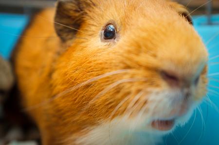 Haustier Meerschweinchen im blauen Drahtkäfig zu Hause