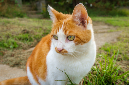 Pet Ginger tabby cat with green eyes outside in front yard