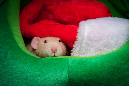 Fancy pet rat Christmas theme with stocking and gifts