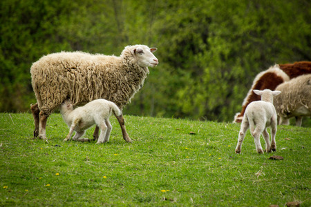 Mother sheep with two babies on farm hillside during early spring day Imagens