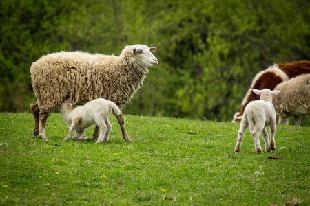 Mutterschaf mit zwei Babys am Hang des Bauernhofs im frühen Frühling Standard-Bild