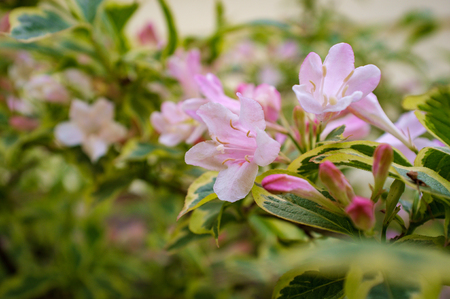Early spring Old Fashioned Weigela florida variegata flowers