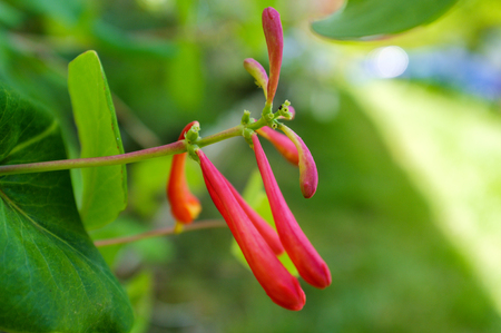 Early spring trumpet honeysuckle flowers budding in eastern North America Stock Photo