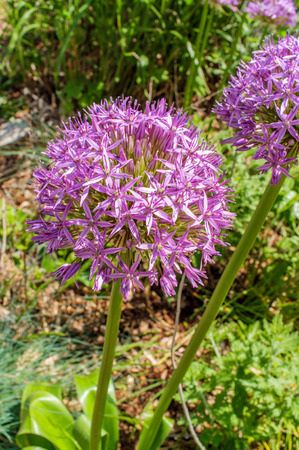 Early spring Gladiator ornamental onion flowers blooming