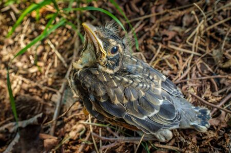 Fledgling bird young American robin in natural closeup Banco de Imagens