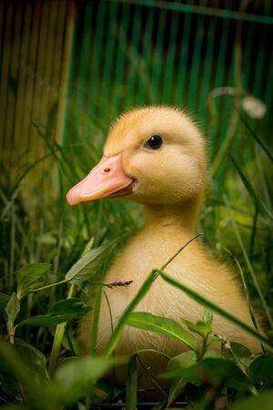 American pekin duckling or Long Island Ducks playing in backyard grass