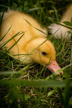 American pekin duckling or Long Island Ducks playing in backyard grass
