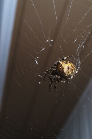 Macro orb weaver spider out on with web for cool summer night