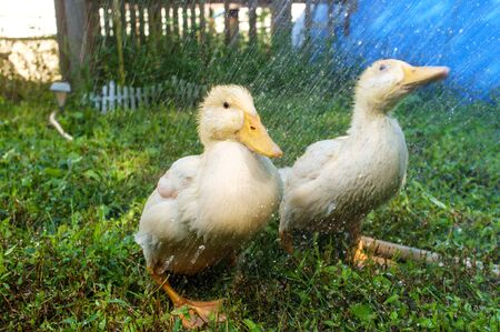 Adolescent American pekin duckling or Long Island Ducks playing in backyard rain Stok Fotoğraf