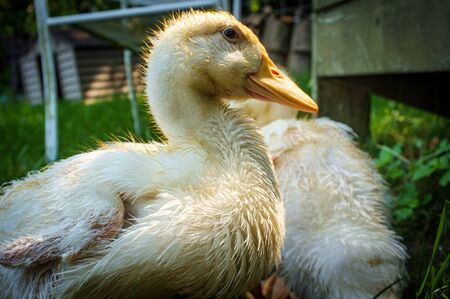 Adolescent American pekin duckling or Long Island Ducks playing on freerange cagefree farm Stok Fotoğraf