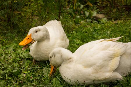 Adult American pekin ducks or Long Island Ducks playing in backyard grass