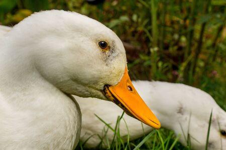 Adult American pekin ducks or Long Island Ducks playing in backyard grass