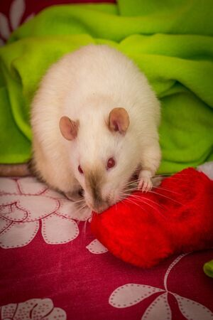 Fancy siamese pet rat Christmas theme with stocking Reklamní fotografie