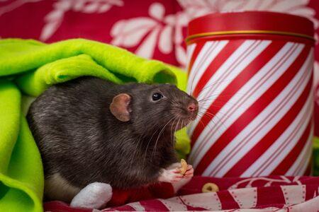 Fancy pet rats Christmas theme with gift tin Reklamní fotografie