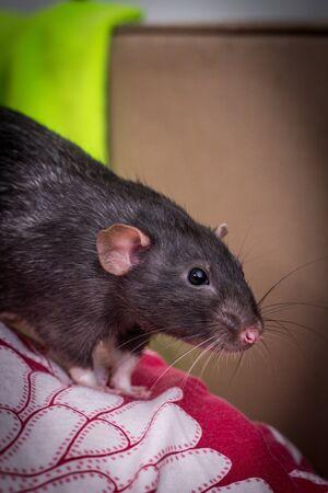 Fancy dumbo orejas mascota rata negra explorando el sofá en el interior
