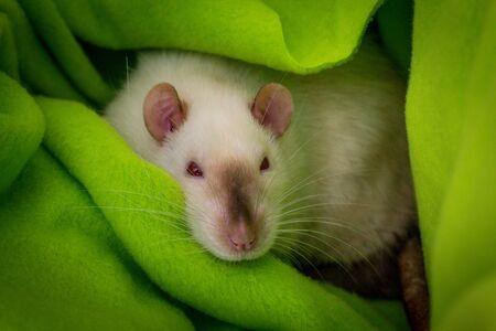 Fancy pet siamese rat resting in green blanket Reklamní fotografie