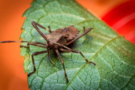 Close up macro helmeted squash bug on green leaf Reklamní fotografie