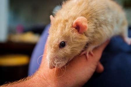 Fancy fawn colored dumbo eared pet rat exploring the sofa