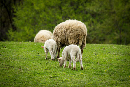 Mother sheep with two babies on farm hillside during early spring day Фото со стока