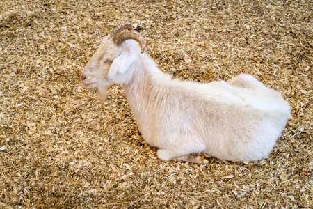 Adult white goat with horns resting on the ground