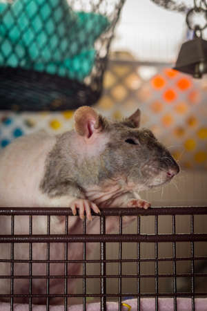 Friendly double-rex patchwork hairless pet rat exploring cage
