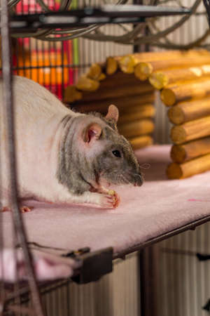 Friendly double-rex patchwork hairless pet rat eating inside cage
