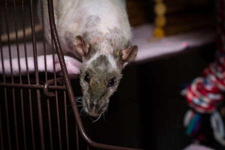 Friendly double-rex patchwork hairless pet rat exploring cage Standard-Bild