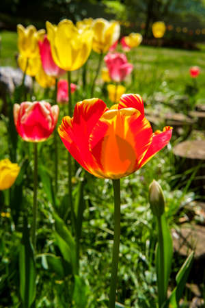 Closeup colorful spring tulips growing in backyard garden
