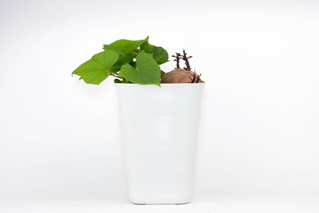 An isolated photo of sweet potato in a white plastic pot sprouts and grows green leaves.
